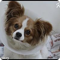 Adopt A Pet :: Ringo - Rockwall, TX