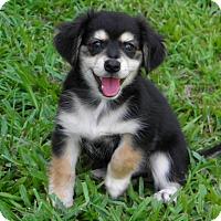 Adopt A Pet :: LITTLE BEAR - ADOPTED! - Terra Ceia, FL