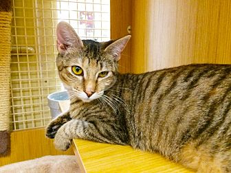 Domestic Shorthair Cat for adoption in Arlington/Ft Worth, Texas - Pipper