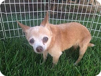 Chihuahua Mix Dog for adoption in Rancho Cucamonga, California - Goldie