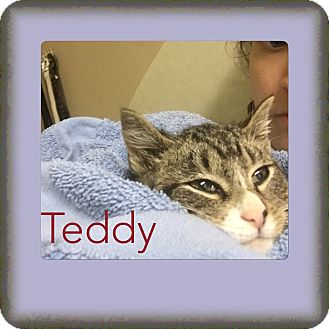 Domestic Shorthair Kitten for adoption in Brentwood, New York - Teddy