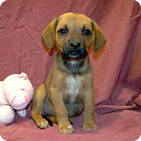 Adopt A Pet :: 16-d05-051 Freesia - Fayetteville, TN