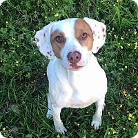 Adopt A Pet :: Scarlette - Russellville, KY