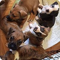 Adopt A Pet :: PUPPIES - Bernardston, MA