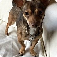 Chihuahua Dog for adoption in Columbia, South Carolina - Thor