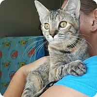 Domestic Shorthair Cat for adoption in Edwardsville, Illinois - monica