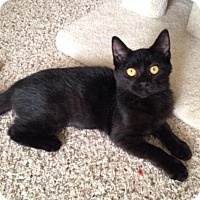 Domestic Shorthair Kitten for adoption in Charlotte, Michigan - Sabrina