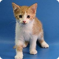 Domestic Shorthair Kitten for adoption in Overland Park, Kansas - Arnold