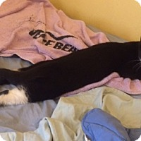 Adopt A Pet :: Delightful Scamper, Sweet Kitten Seeks BFF! - Brooklyn, NY