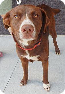 Australian Shepherd/Labrador Retriever Mix Dog for adoption in White Bluff, Tennessee - Buck/marina