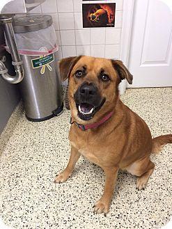 German Shepherd Dog Mix Dog for adoption in St. Louis, Missouri - Delilah