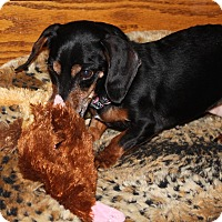 Adopt A Pet :: Ellie - Louisville, CO