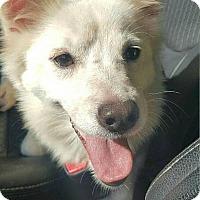 Spitz (Unknown Type, Medium) Mix Dog for adoption in Smithtown, New York - Sparkle