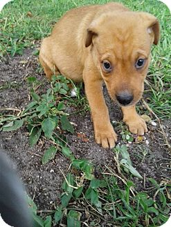 Terrier (Unknown Type, Medium) Mix Puppy for adoption in Hollywood, Florida - EENIE