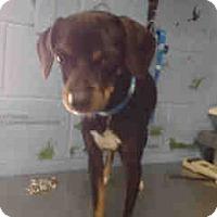Miniature Pinscher/Chihuahua Mix Dog for adoption in San Bernardino, California - URGENT ON 12/2  San Bernardino