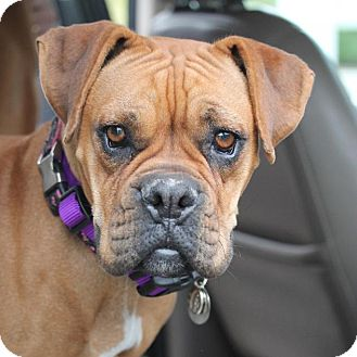 Boxer Dog for adoption in Denver, Colorado - Bridgette