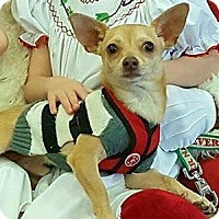 Chihuahua/Dachshund Mix Dog for adoption in Brighton, Tennessee - Deeogee (GAPR/TN foster)