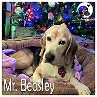 Adopt A Pet :: Mr Beasley - Novi, MI