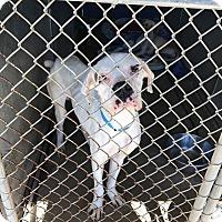 Adopt A Pet :: Nanook - Austin, TX
