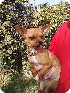 Chihuahua Puppy for adoption in Hilliard, Ohio - Nugget