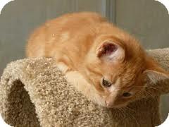American Shorthair Kitten for adoption in Hazard, Kentucky - Butter
