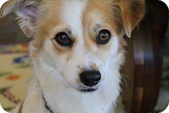Corgi/Cavalier King Charles Spaniel Mix Dog for adoption in san diego, California - Ralph