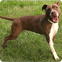 Adopt A Pet :: Haley - Chicago, IL