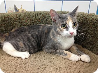 Domestic Shorthair Kitten for adoption in Newport Beach, California - Kieu