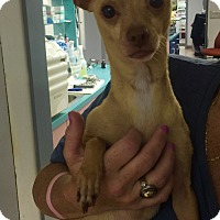 Chihuahua Dog for adoption in Fort Myers, Florida - Romeo
