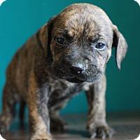 Adopt A Pet :: Juno - Waldorf, MD