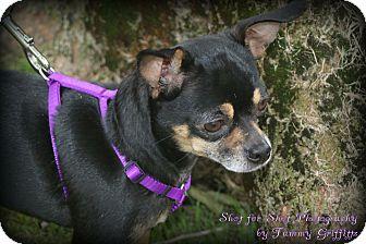 Chihuahua Mix Dog for adoption in Lodi, California - Tina