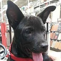 Adopt A Pet :: JoJo ~ Puppy - St Petersburg, FL