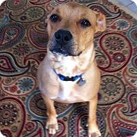 Adopt A Pet :: Bella Blue - Homewood, AL