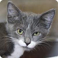 Adopt A Pet :: Solitaire - Sarasota, FL