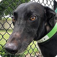 Greyhound Dog for adoption in Longwood, Florida - Boss Hog
