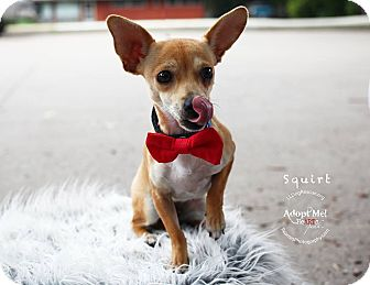 Chihuahua Dog for adoption in Shawnee Mission, Kansas - Squirt (female)
