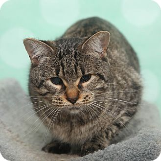 Domestic Shorthair Cat for adoption in Chippewa Falls, Wisconsin - Daisy