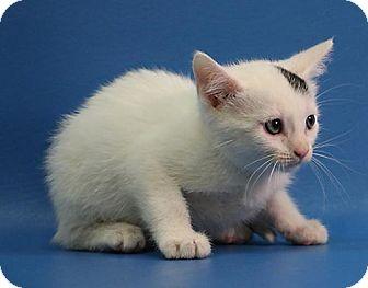 Calico Kitten for adoption in Overland Park, Kansas - Cora
