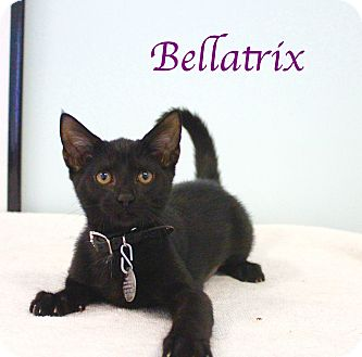 Domestic Shorthair Kitten for adoption in Bradenton, Florida - Bellatrix
