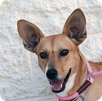 Shepherd (Unknown Type) Mix Dog for adoption in Palmdale, California - Reina