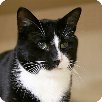 Domestic Shorthair Cat for adoption in Kettering, Ohio - Tazzoco