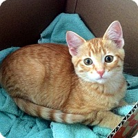 Domestic Shorthair Kitten for adoption in Lombard, Illinois - Gibson