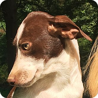 Coonhound Mix Puppy for adoption in Olive Branch, Mississippi - Gabby - see video