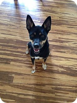 Shepherd (Unknown Type) Mix Dog for adoption in Portland, Maine - Saxon