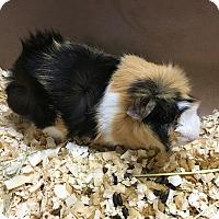 Adopt A Pet :: Baby - Paramus, NJ