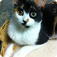 Calico Cat for adoption in Bryn Mawr, Pennsylvania - Amber/ petite and affectionate