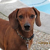 Dachshund Dog for adoption in Pearland, Texas - Magnus
