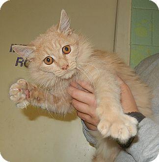 Domestic Mediumhair Cat for adoption in Newport, North Carolina - Slush
