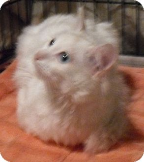Turkish Angora Cat for adoption in North Highlands, California - Woody
