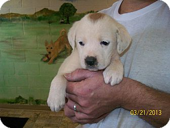St. Bernard/Hound (Unknown Type) Mix Puppy for adoption in Sudbury, Massachusetts - ELSIE - ADOPTION PENDING
